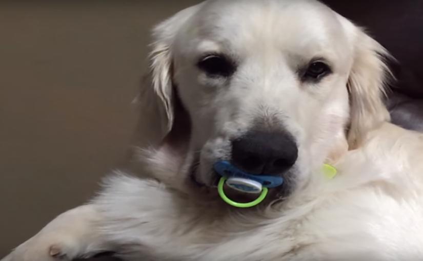 Video – Koira ei suostu luopumaan tutistaan